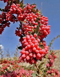 barberry bush image