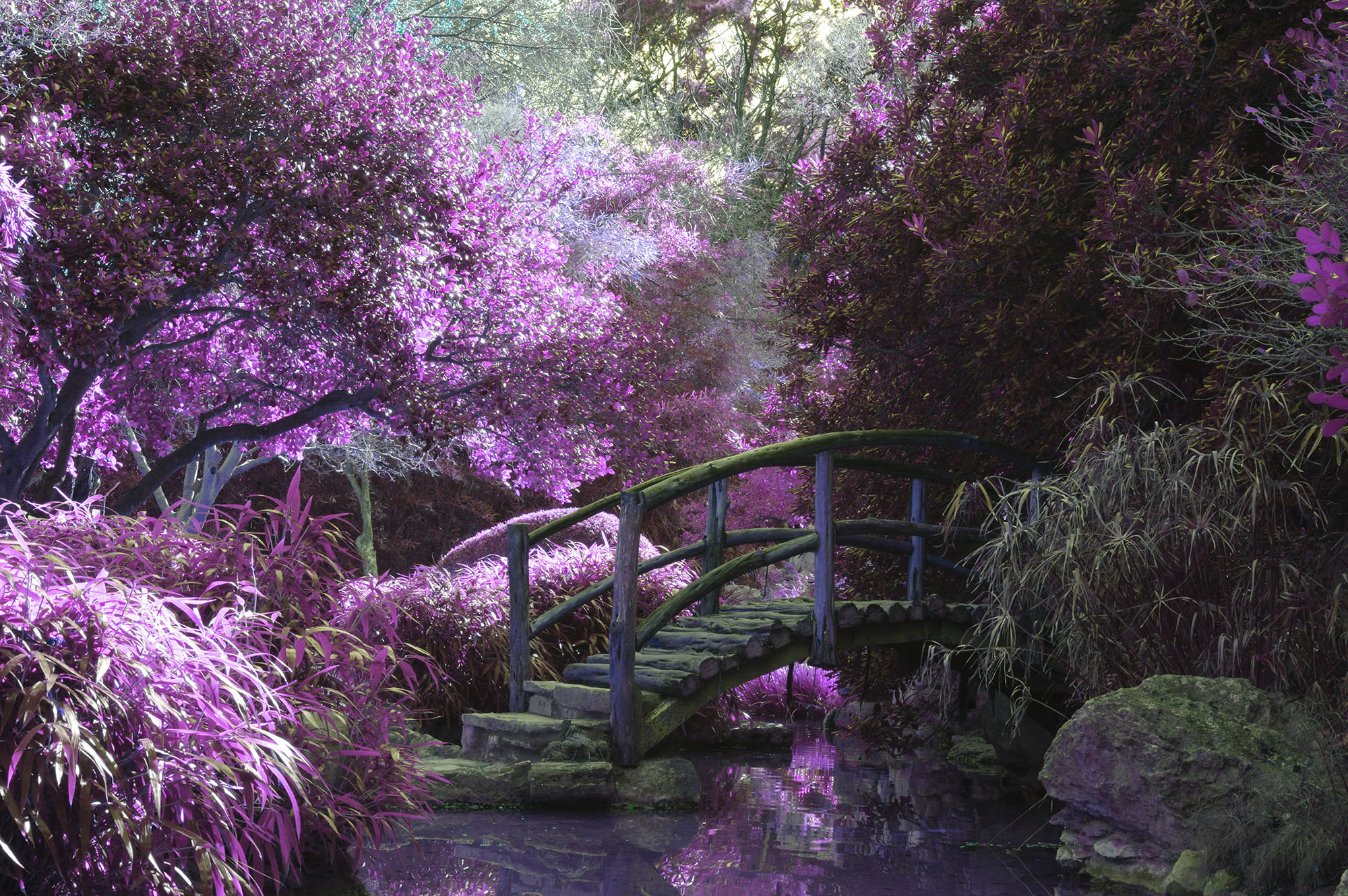 wooden bridge among pink blossomed trees