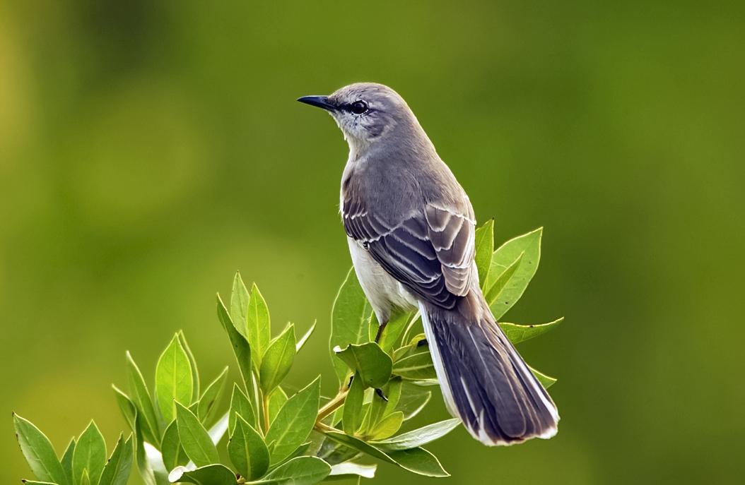 photo of north american mockingbird
